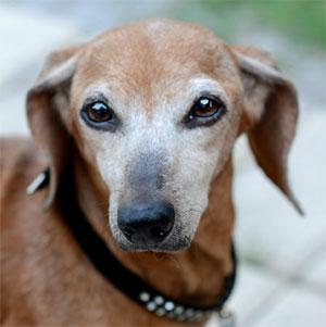 Florida Dachshund Rescue Adopt A Senior