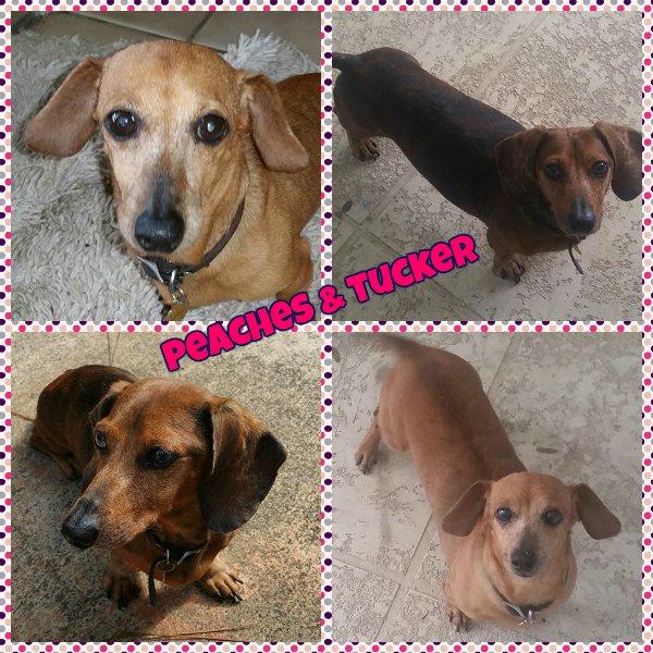 florida dachshund rescue  u2013 peaches  u0026 tucker  u2013 courtesy post